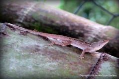 Lizard On Bamboo