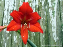 Lily On The Fence