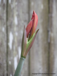 Lily Bud