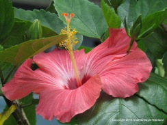 Hibiscus Among The Green