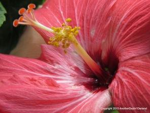 Inner Hibiscus