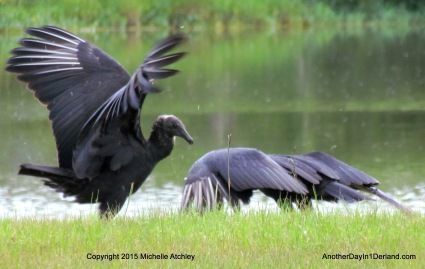 Winged and Bowing Vulture