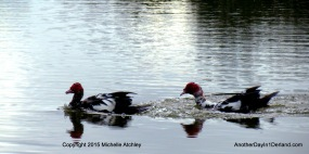 Pair of Muscovy Ducks