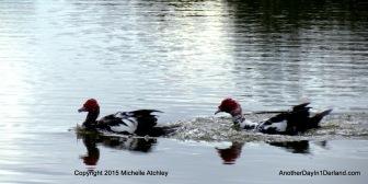 Pair of Muscovy Ducks