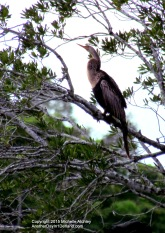 Anhinga.....AKA Snake-Bird or Water Turkey