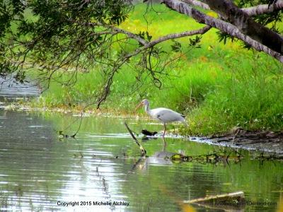 White Ibis wading
