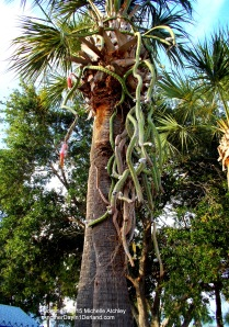 Snake Cactus