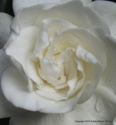 Weeping Gardenia