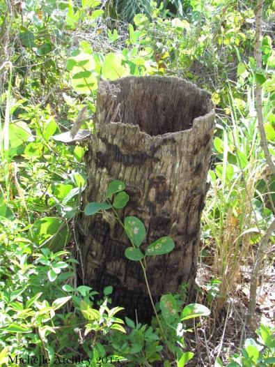 Hollow Palm Tree Stump