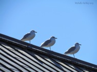 Three Gulls...Score