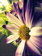 Purple & White Daisy