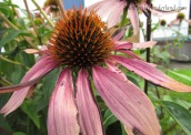 Pretty Purple Coneflower