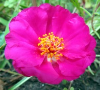 Pretty Pink & Yellow Flower
