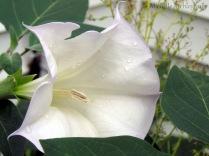 Jimson Weed Bloom