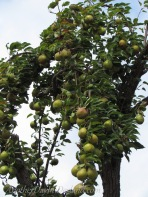 Heavy Pear Tree