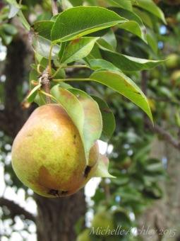 Vine Ripe Pear