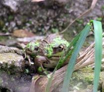 Camoflauged Frog