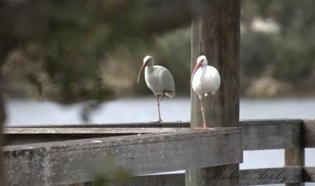Two White Ibis