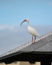 Ibis On a Metal Roof