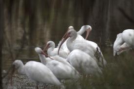White Ibis Bathing