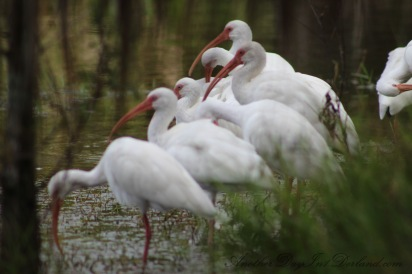 Gaggle of White Ibis