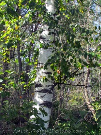 White Birch Tree