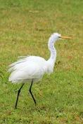 Fuzzy Egret