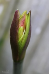 Lily Bud